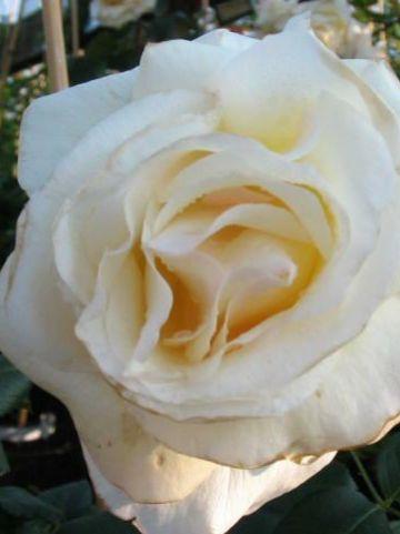 Rosa  'Schneewalzer' (='Tanrezlaw') - Grootbloemige klimroos
