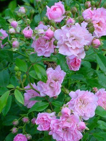 Rosa  'The Fairy' - Dwergtrosroos