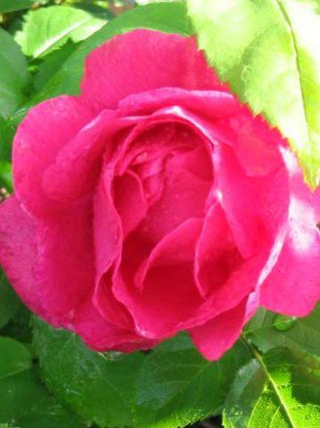 Rosa  'Ulrich Brunner Fils' - Ouderwetse roos , Remontantroos