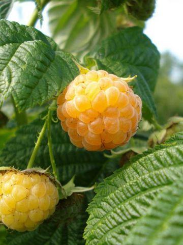 Rubus idaeus 'Fallgold' - Gele framboos