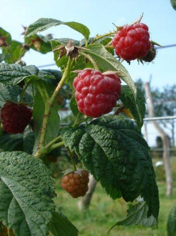 Rubus idaeus 'Schonemann' - Framboos