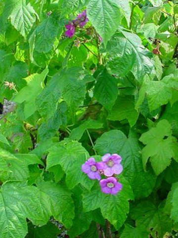 Rubus odoratus  - Sierbraam