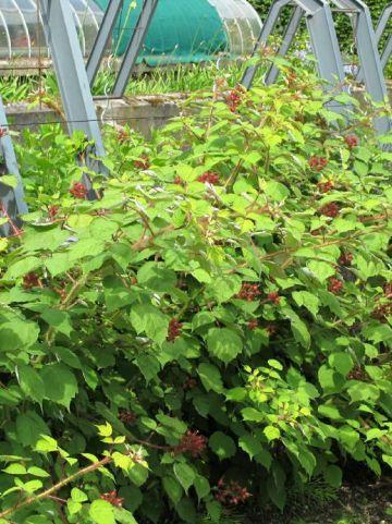Rubus phoenicolasius - Japanse wijnbes
