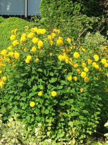 Rudbeckia laciniata 'Goldquelle' -