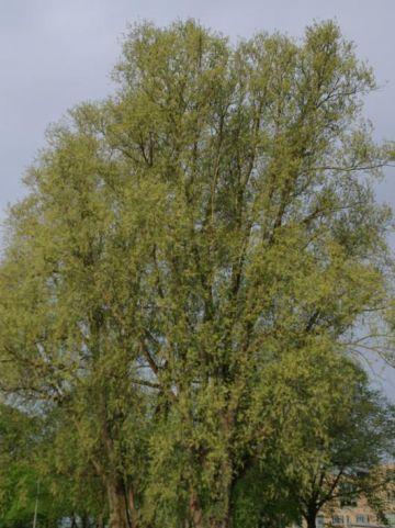 Salix alba  - Gewone wilg , Schietwilg , Witte wilg