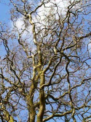 Salix babylonica 'Tortuosa' - Kronkelwilg