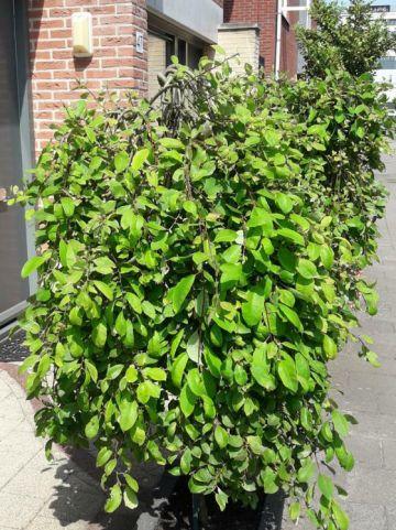 Salix caprea 'Kilmarnock' - Treurwilgje