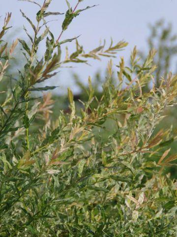 Salix integra 'Hakuro-nishiki' - Bonte dwergwilg