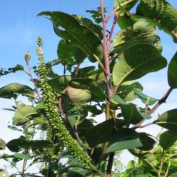 Salix magnifica  - Wilg