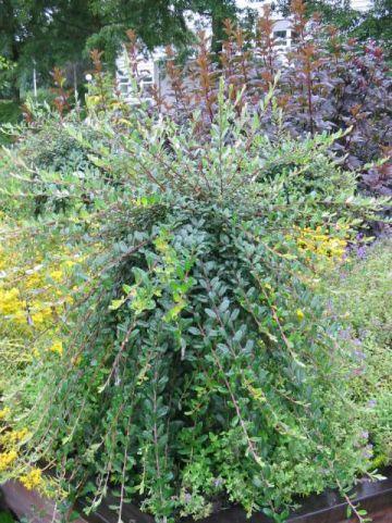 Salix repens 'Armando' - Treurwilgje