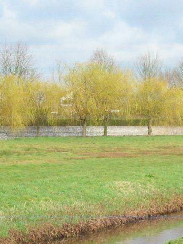 Salix sepulcralis 'Chrysocoma' - Gele treurwilg