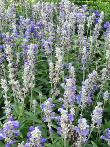 Salvia farinacea 'Strata' - Meelsalie