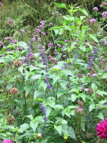 Salvia farinacea 'Victoria' - Salie