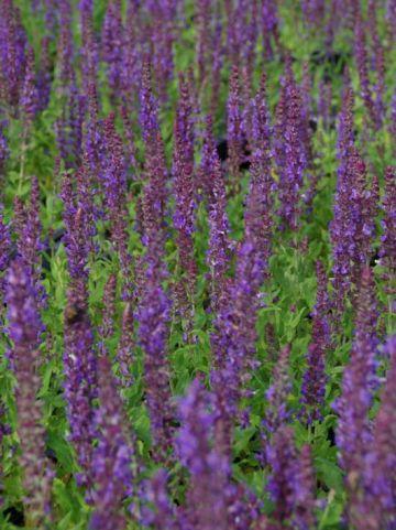 Salvia nemorosa 'Blaukönigin' - Salie