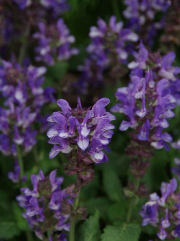 Salvia nemorosa 'Blue Marvel' - Salie