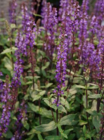 Salvia nemorosa 'Caramia' - Salie