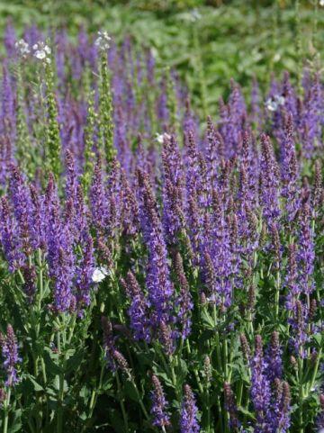 Salvia nemorosa 'Sensation Sky Blue' (='Flor Sal Sky') - Salie