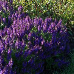 Salvia nemerosa 'Marcus' - Salie