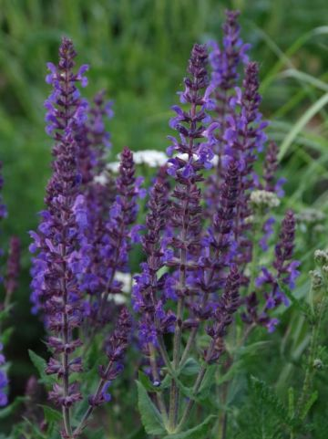 Salvia nemorosa 'Ostfriesland' - Salie