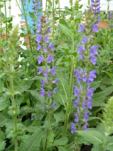 Salvia nemorosa 'Salute Deep Blue' - Salie