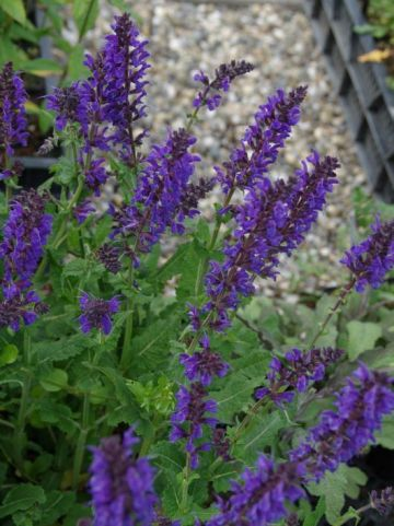 Salvia nemorosa 'Viola Klose' - Salie