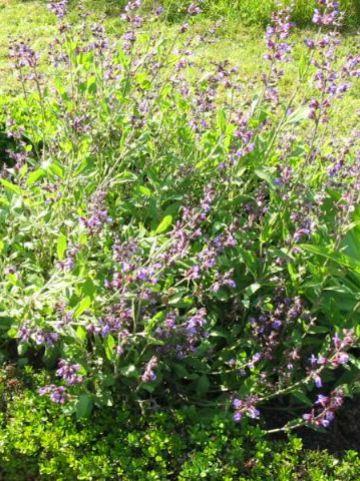 Salvia officinalis  - Echte salie , Tuinsalie , Salie
