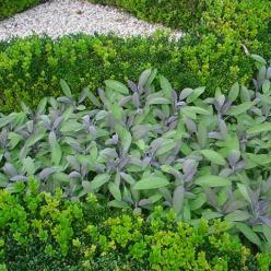 Salvia officinalis 'Purpurascens' - Purperkleurige salie