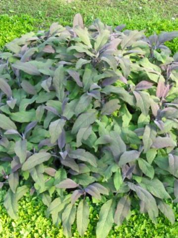 Salvia officinalis 'Purpurascens' - Purperkleurige salie