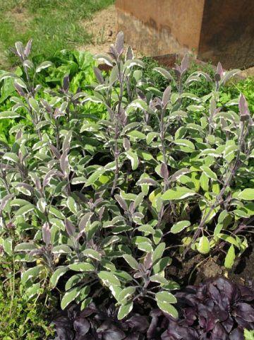 Salvia officinalis 'Tricolor' - Bonte salie , Salie, bontbladig