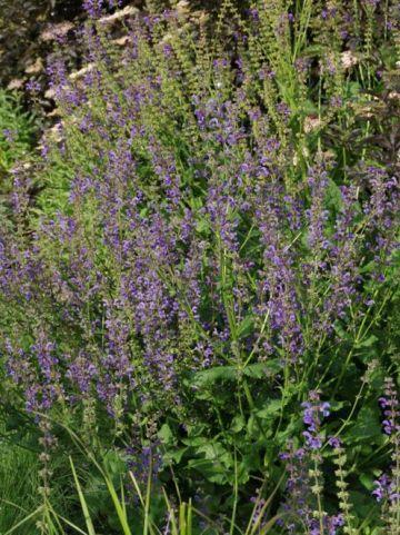 Salvia pratensis  - Veldsalie , Salie