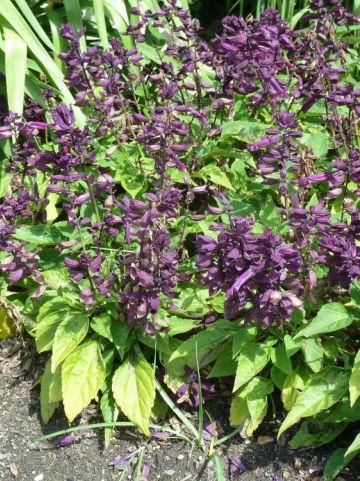 Salvia splendens  - Vuursalie , Salie