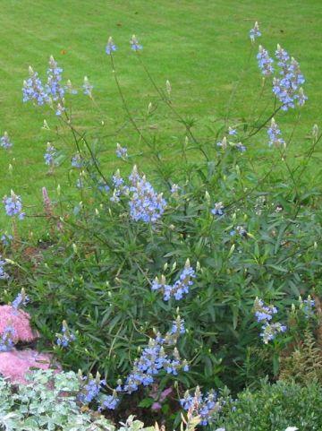 Salvia uliginosa - Salie
