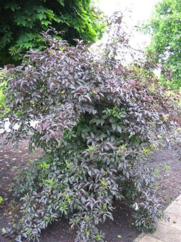 Sambucus nigra 'Guincho Purple' - Gewone vlier