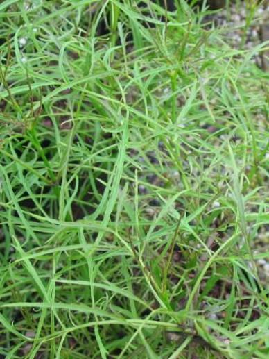Sambucus racemosa 'Tenuifolia' - Vlier