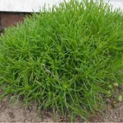 Santolina rosmarinifolia - Heiligenbloem, cypressenkruid