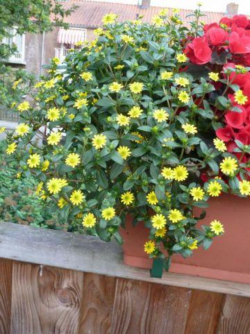 Sanvitalia procumbens  - Huzarenknoop , Kruipende Zinnia
