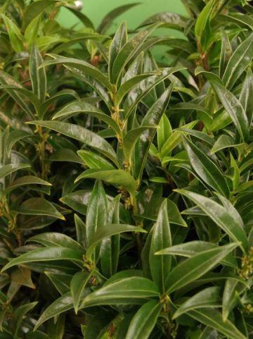 Sarcococca hookeriana 'Winter Gem' (='Pmoore03') -