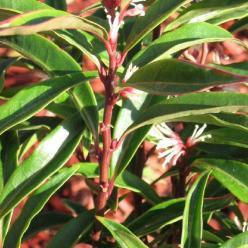 Sarcococca hookeriana 'Purple Stem' -