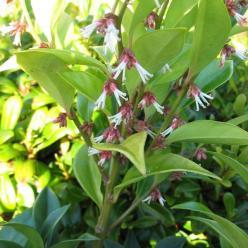 Sarcococca orientalis  -