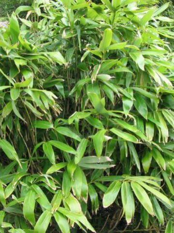 Sasa palmata f. nebulosa  - Dwergbamboe