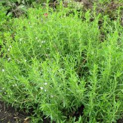 Satureja montana - Bergbonenkruid, bonenkruid