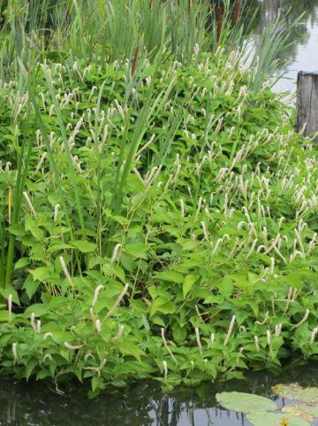 Saururus cernuus  - Leids plantje
