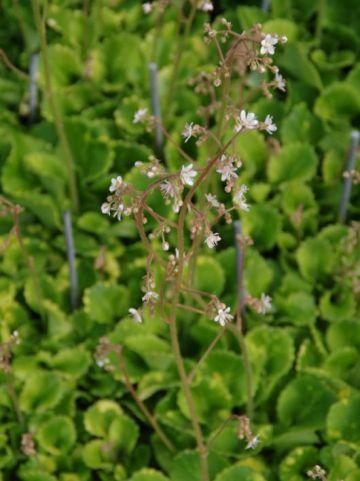 Saxifraga x urbium ´Variegata´ - Schildersverdriet, steenbreek, hoe-langer-hoe-liever