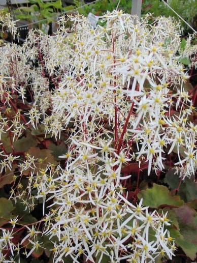 Saxifraga cortusifolia 'Rubrifolia' - Steenbreek