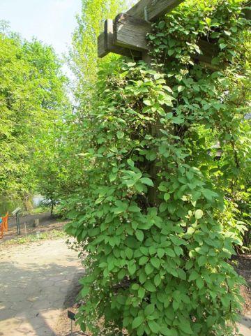 Schisandra chinensis  - Peperbes
