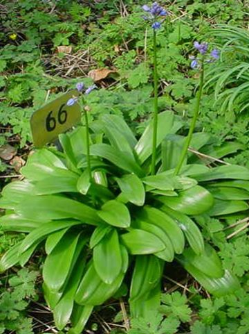 Scilla hyacinthoides  - Pyreneeënsterhyacint , Sterhyacint