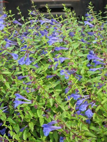 Scutellaria scordiifolia  - Glidkruid