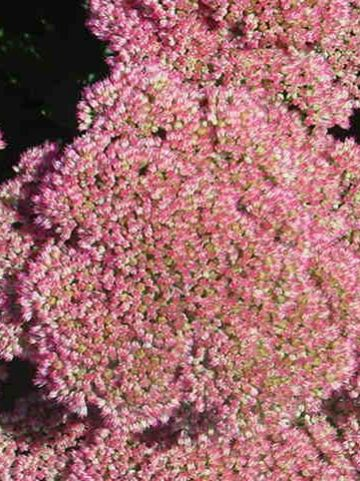 Sedum  'Herbstfreude' - Hemelssleutel , Vetkruid