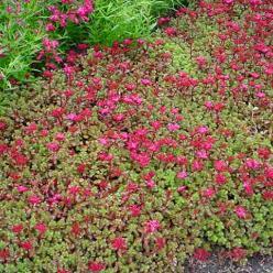 Sedum spurium 'Fuldaglut' - Vetkruid (roze)