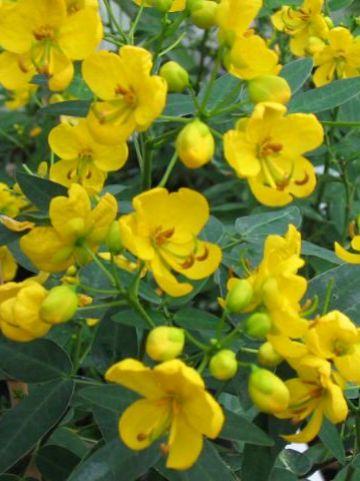 Senna floribunda  -